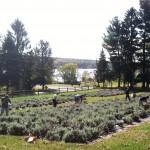 Samu outside harvesting lavendar -- a final fall crop!